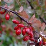 Owoce berberysu - przepisy na nalewkę, konfitury i kompot. Berberys jako cenne źródło witaminy C ma swoje zastosowanie także w kuchni. Pamiętajmy jednak, że tylko owoce berberysu są jadalne, natomiast pozostałe części tej rośliny mają działanie trujące.