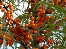 Owoce rokitnika zwyczajnego